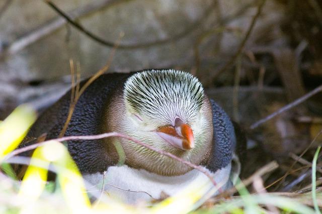 guløjet tučňák